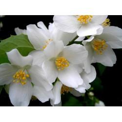 Душистые и пьянящие цветы жасмина